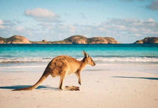 kangourou Australie